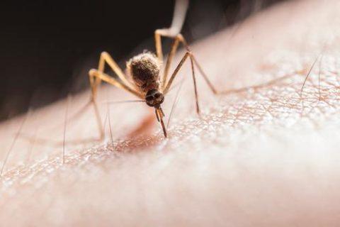 Pourquoi les moustiques piquent ?