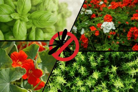 plantes anti moustique