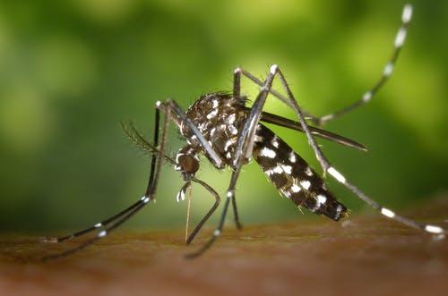 tout savoir moustique tigre