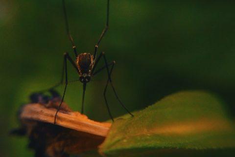 se débarrasser des moustiques tigres