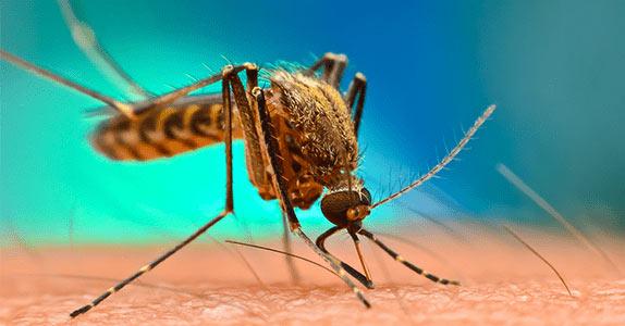 la piqûre de moustique
